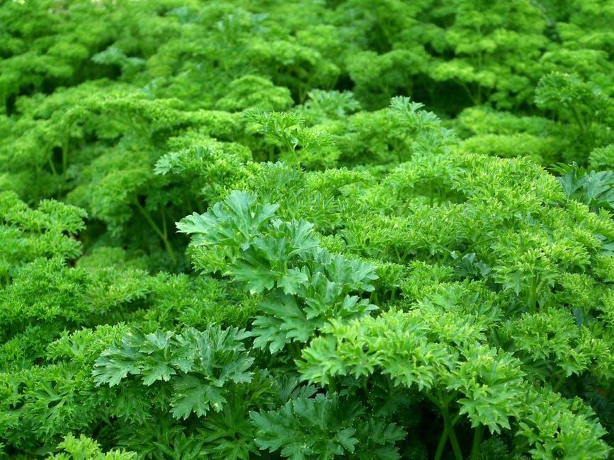 popularne wśród polaków zioła szwedzkie